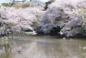 鎌倉の桜2017の開花時期と花見の名所や穴場おすすめ10選!