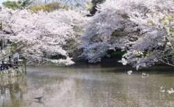 鎌倉の桜2018の開花時期と花見の名所や穴場おすすめ10選!