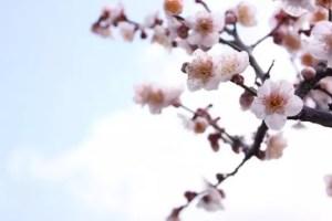 北野天満宮の梅2017の見頃の時期や開花状況と梅花祭!