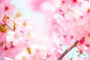 錦帯橋の桜・お花見2017の開花状況と見頃時期!
