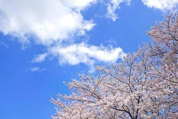 北上展勝地の桜(桜まつり)2019の開花状況と見頃時期!