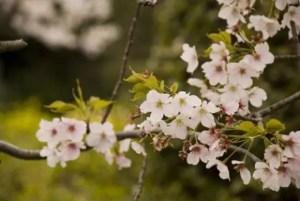 熊谷桜堤の桜(桜祭り)2016の開花状況と見頃時期!