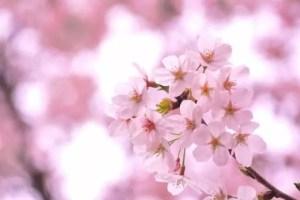松江城山公園の桜(桜祭り)2017の開花状況と見頃時期!