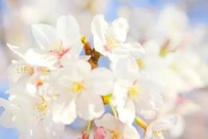 松前公園の桜(桜まつり)2017の開花状況と見頃時期!