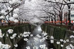 目黒川の桜(桜並木)2018の見頃や開花情報!