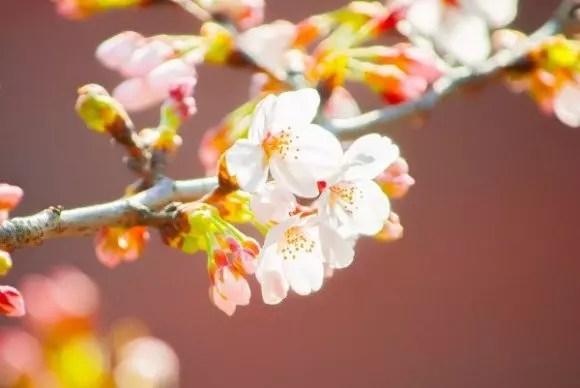 県立三ツ池公園の桜2017の見ごろ時期と開花状況!