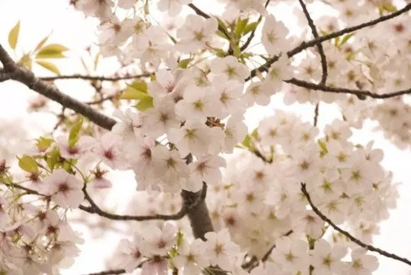 静内二十間道路桜並木の桜(桜祭り)2017の開花情報と見頃!