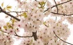 静内二十間道路桜並木の桜(桜祭り)2018の開花情報と見頃!