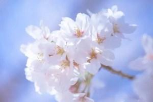 仁和寺の御室桜2016の見頃や開花情報!