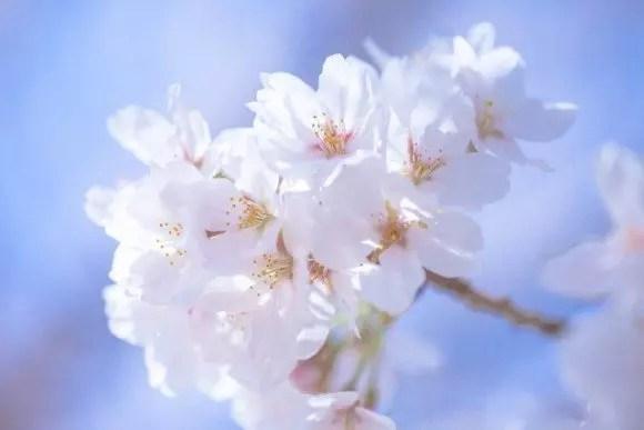 仁和寺の御室桜2017の見頃や開花情報!