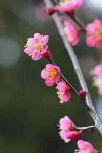 大倉山公園梅林の梅の見頃や開花状況2018と観梅会はいつ?
