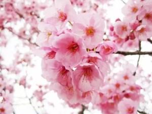 海津大崎の桜2017の開花予想や状況と見頃時期!