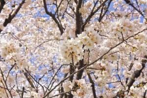 千秋公園の桜(桜祭り)2016の開花状況と見頃時期!