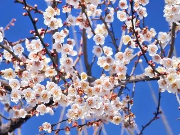 曽我梅林の梅まつり2017梅の見頃や開花状況は?