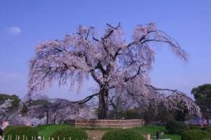 しだれ桜2017の名所おススメ8選と開花時期や見頃時期!