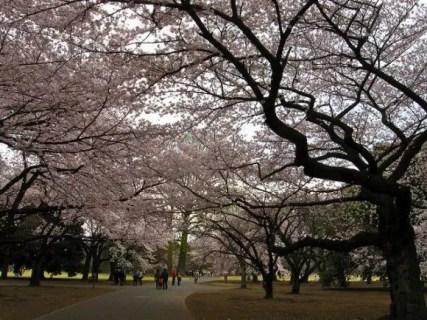 新宿御苑の桜2019の見頃や開花状況とアクセス方法!