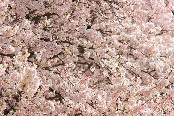 白石川堤一目千本桜2018の開花状況や見頃と駐車場!