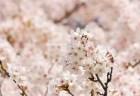 隅田公園の桜(桜祭り)2018の開花状況と見頃時期!