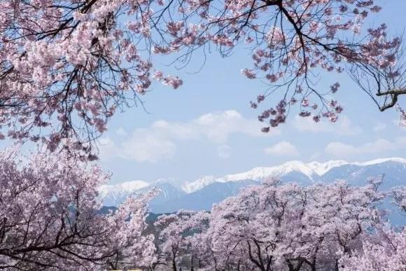 高遠桜2019の見頃や開花予想と駐車場やアクセス方法!