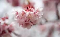 三春滝桜2018の開花状況や見頃と駐車場やアクセス方法!
