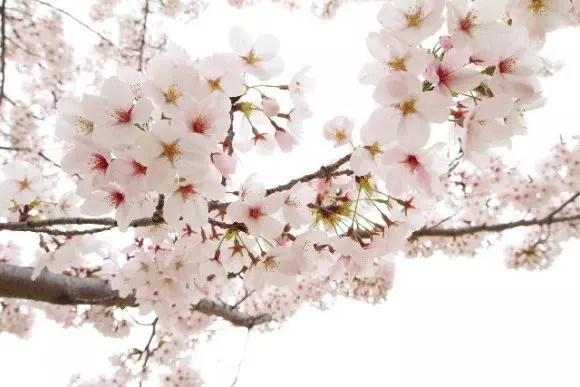 津山城鶴山公園の桜(桜祭り)2017の開花情報と見頃!