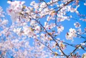 根尾谷淡墨桜2017の開花情報と見頃時期やライトアップ!