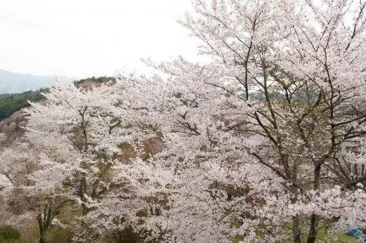 吉野山の桜2019の見頃の時期や開花予想とアクセス方法!