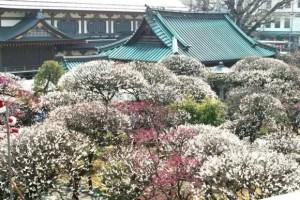 湯島天神の梅まつり2017の見頃の時期や開花状況は?