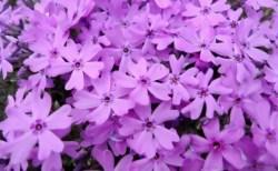 茶臼山の芝桜2018の開花情報や見頃と駐車場は?