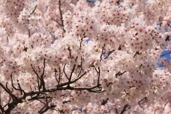 円山公園の桜・花見2017開花情報と夜桜ライトアップ!