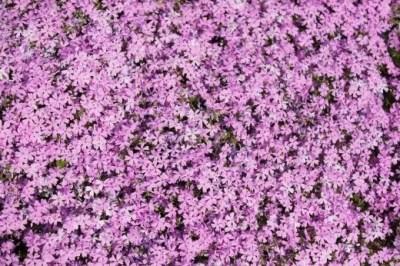 世羅高原の芝桜2016の開花情報や見頃と駐車場は?