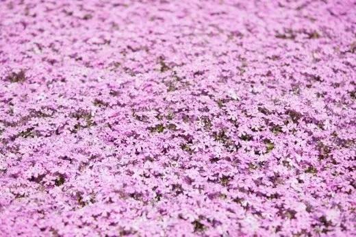滝上町の芝桜まつり2017の開花状況や見頃の時期!