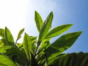 びわの葉の効能や効果とびわの葉茶の作り方!