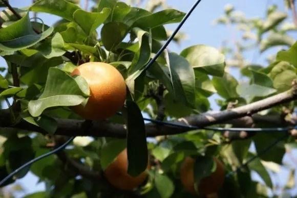 福岡の梨狩りの時期とおすすめ人気スポット!