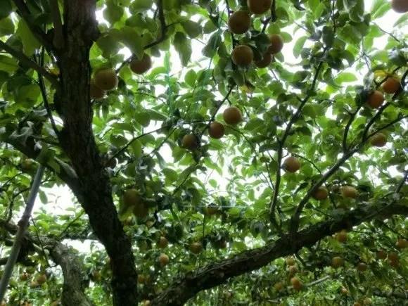 栃木の梨狩りの時期とおすすめ人気スポット!