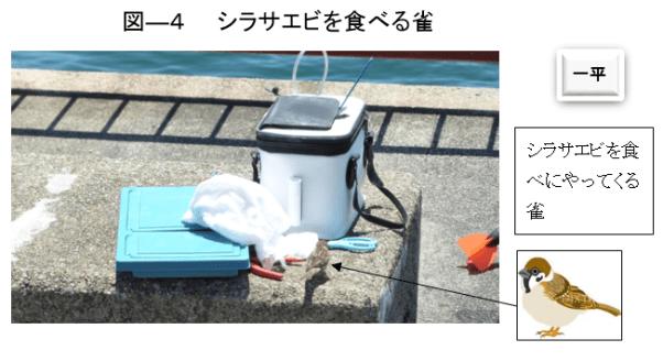 図ー4 シラサエビを食べる雀