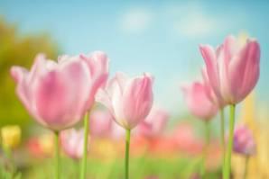母の日人気の花の種類チューリップ