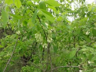 Staphylea trifolia SCA-3463