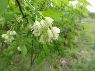 Staphylea trifolia SCA-3465