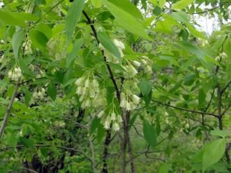 Staphylea_trifolia_SCA-3463