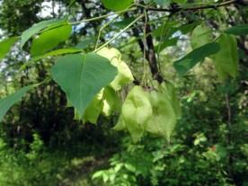 Staphylea_trifolia_SCA-3490