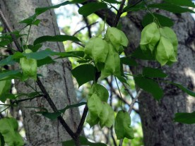 Staphylea_trifolia_SCA-3491