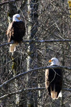 Eagle Pair_courtesy_RichardOlson