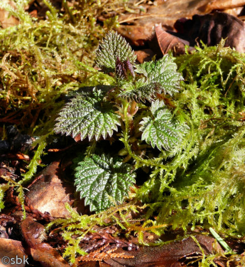 First nettles of spring