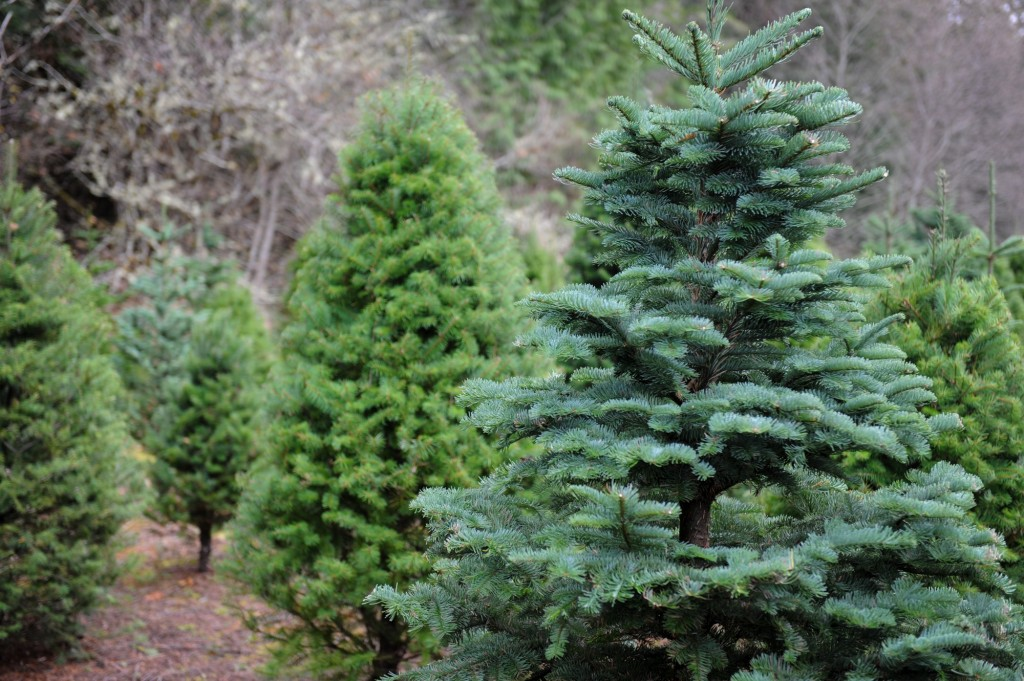 Christmas Trees scenic TT