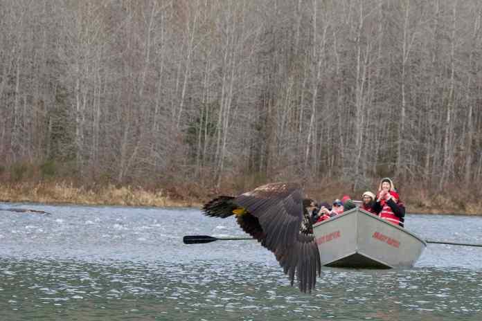 Skagit River Bald Eagles Boat