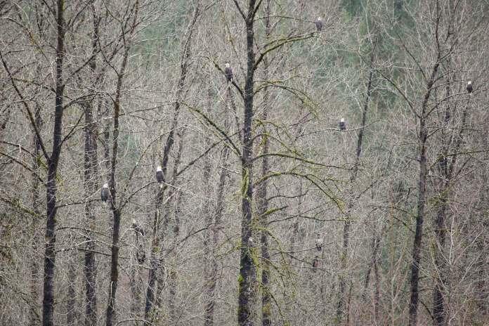 Skagit River Bald Eagles Trees