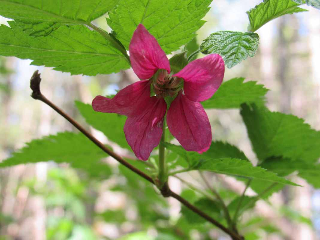 Skagit County Walks to See Spring Blooms Salmonberry