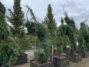skagit gardens conifer Picea-omarika-pendula