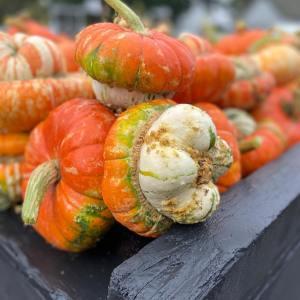 skagit pumpkin patch schuh farms